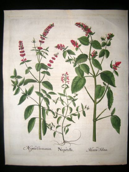 Besler 1613 LG Folio Hand Colored Botanical Print. Calamint | Albion Prints